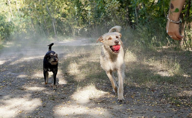 Mischlinge spielen am 19.09.2012 in Berlin auf einem Hundeplatz mit einem Ball.