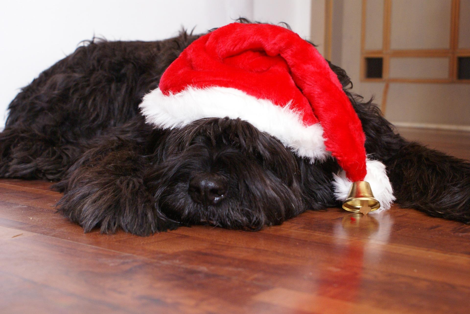 Liegender schwarzer Hund mit Weihnachtsmannmütze