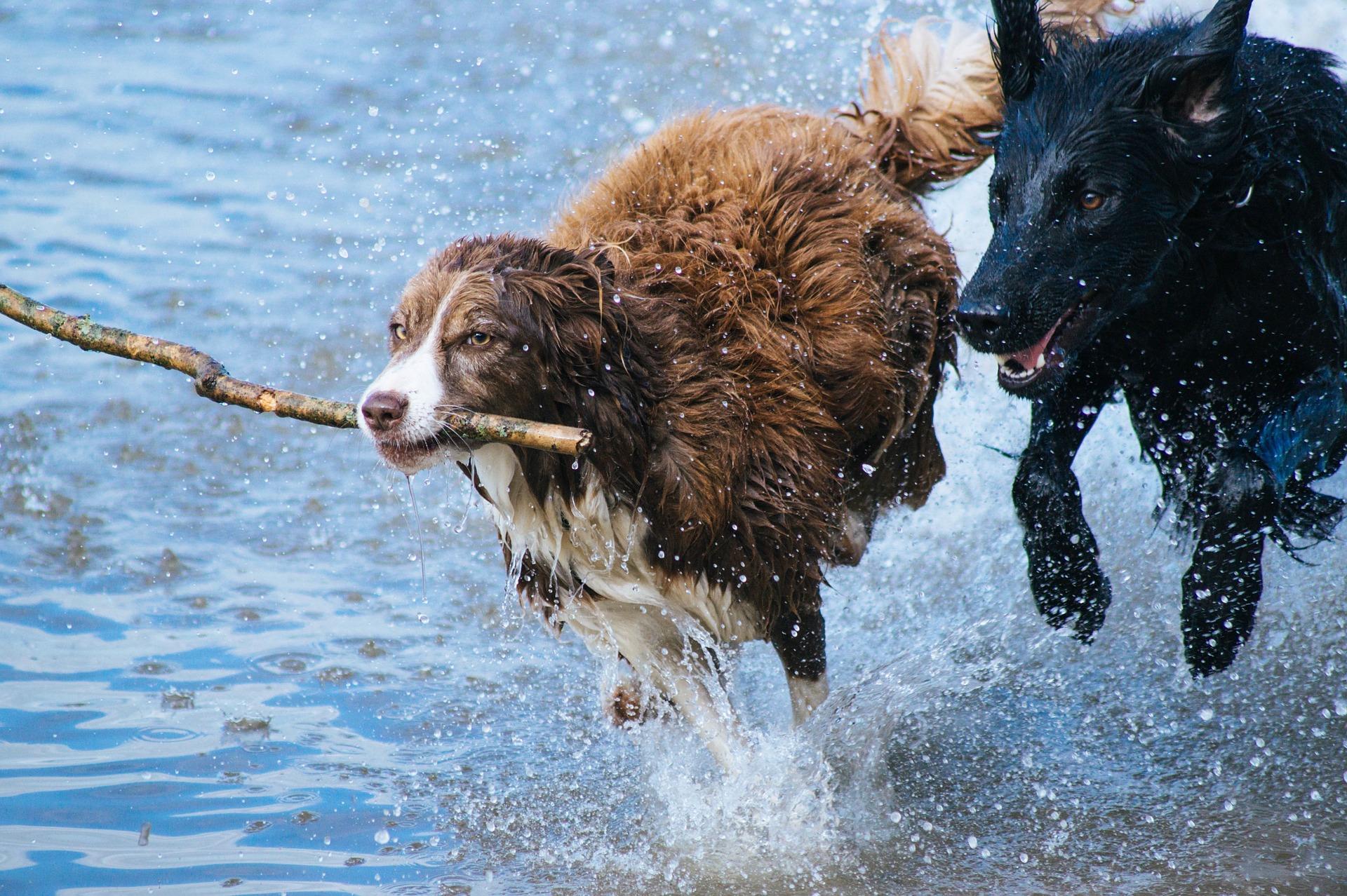 Ein brauner und ein schwarzer Hund toben im Wasser