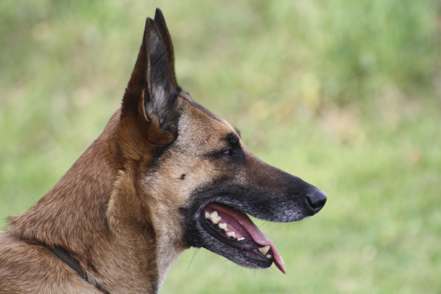 Malinois-Rüde-Chili