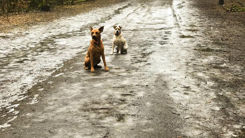 Zwei Hunde sitzen auf einem Waldweg
