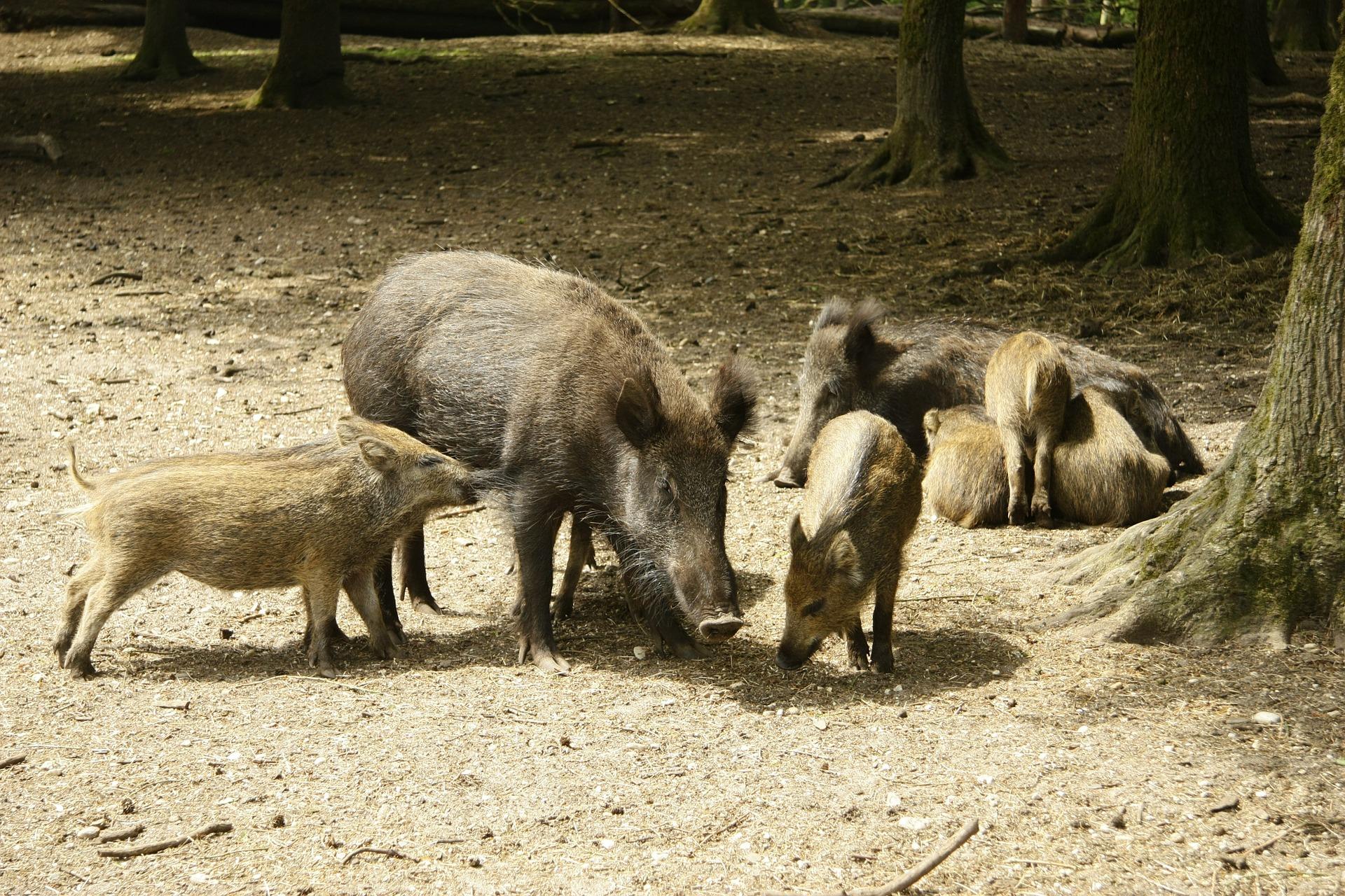 Eine Rotte Wildschweine im Wald