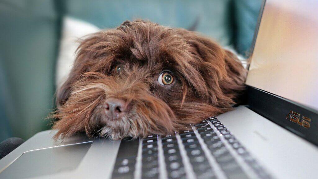 Hund Havaneser liegt mit dem Kopf auf der Tastatur eines Laptops
